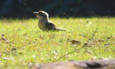 A cheeky Kookaburra foraging at Byarong Reserve