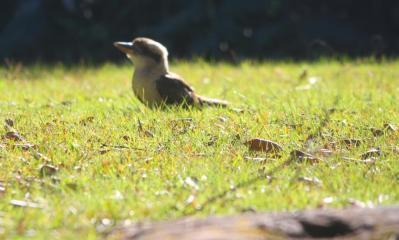 A cheeky Kookaburra foraging at Byarong Reserve