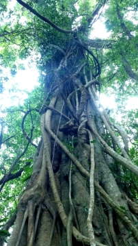 Majestic Morton Bay Fig Tree