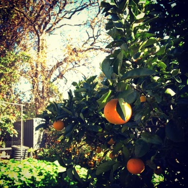 Nan's organic oranges fresh of the tree, homegrown in Wollongong. The perfect hiking health food.