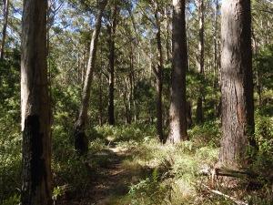 Open Forest, Wodi Wodi trail, Stanwell Park, New South Wales