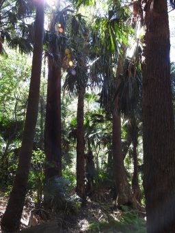 Cabbage Tree forests, Livistona australis. Wodi Wodi trail, Stanwell Park
