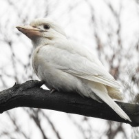 White Kookaburra